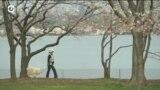 В Вашингтоне из-за коронавируса запретили любоваться на цветущие вишни