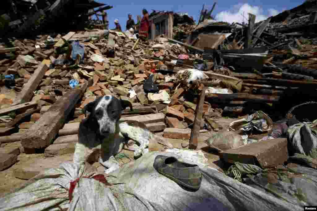 Собака на руинах разрушенного землетрясением здания, Бактапур, Непал