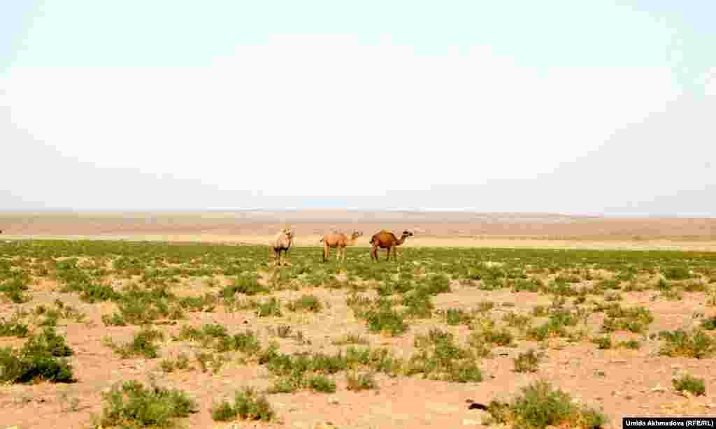 Живущие в Тамдынском районе Узбекистана казахи разводят в основном одногорбых верблюдов — дромедаров. Местные жители, считающие, что верблюжье молоко помогает при заболеваниях печени, часто приезжают за шубатом в села, где живут верблюдоводы.