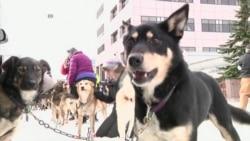 Айдитарод: на Аляске началась самая экстремальная гонка на собаках в мире