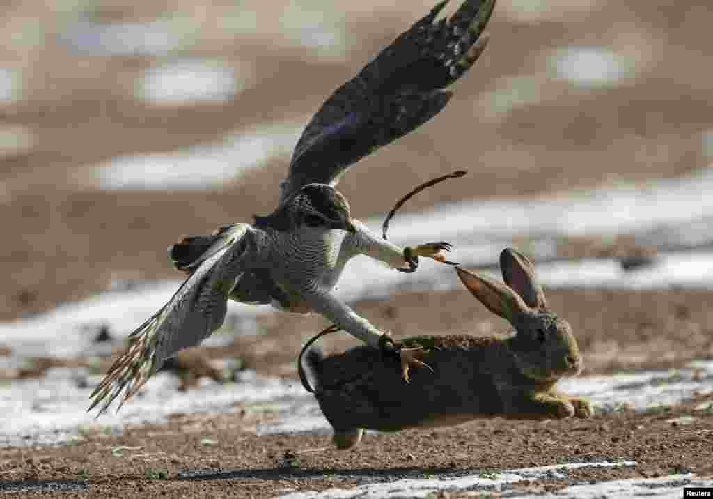 Другой этап – охота на зайца.Охотник с беркутом поднимается вверх по склону холма и оттуда пускает свою птицу, которая должна настигнуть жертву и ждать, пока хозяин не окажется рядом