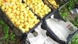 Человек на карте: дагестанские абрикосы