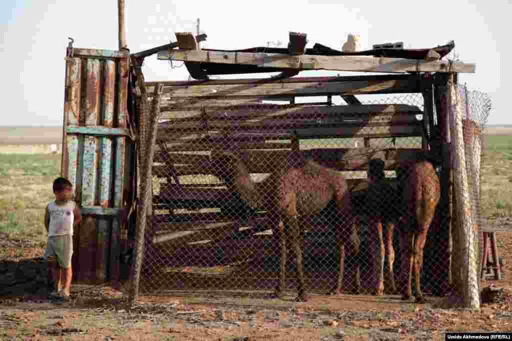 Многих верблюжат, когда доят их мам, держат отдельно от взрослых животных. После доения в вымени оставляют достаточное количество молока для верблюжонка.