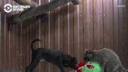 Мошка и Брошка: как енот подружился с собакой