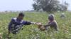 """""""Лучше бы сеял кукурузу"""". Закупочная цена на хлопок в Таджикистане упала на 30%"""