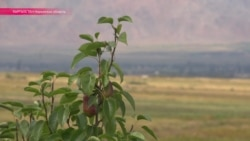 Как вырастить сад на камнях: за овощами нарынского фермера едут даже из-за границы