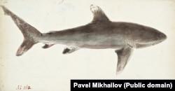"""Узкозубая акула. Часто встречается в водах вблизи Новой Зеландии. Из-за окраса ее иногда называют """"медной акулой"""""""