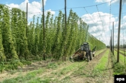 Hop farms are among the popular destinations for seasonal workers in Poland.