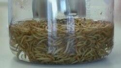Масло из насекомых - полезная еда будущего
