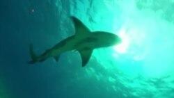 В США акулы снова начали нападать на людей