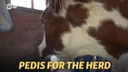 My Cows Need A Pedi: Siberian Mechanic Finds His Calling With The Herd