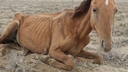 Засуха в Казахстане: умирающий скот лежит в пустыне на Мангышлаке