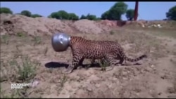 В Индии спасли застрявшего в металлическом горшке леопарда