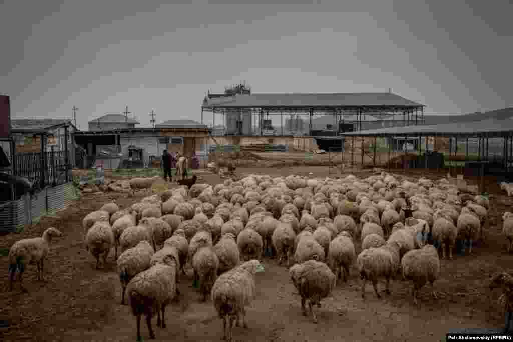 Пастухи загоняют овец и уходят обедать