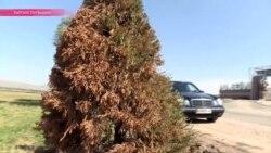 Ёлки повышенной зелености: в Бишкеке покрасили деревья к саммиту СНГ