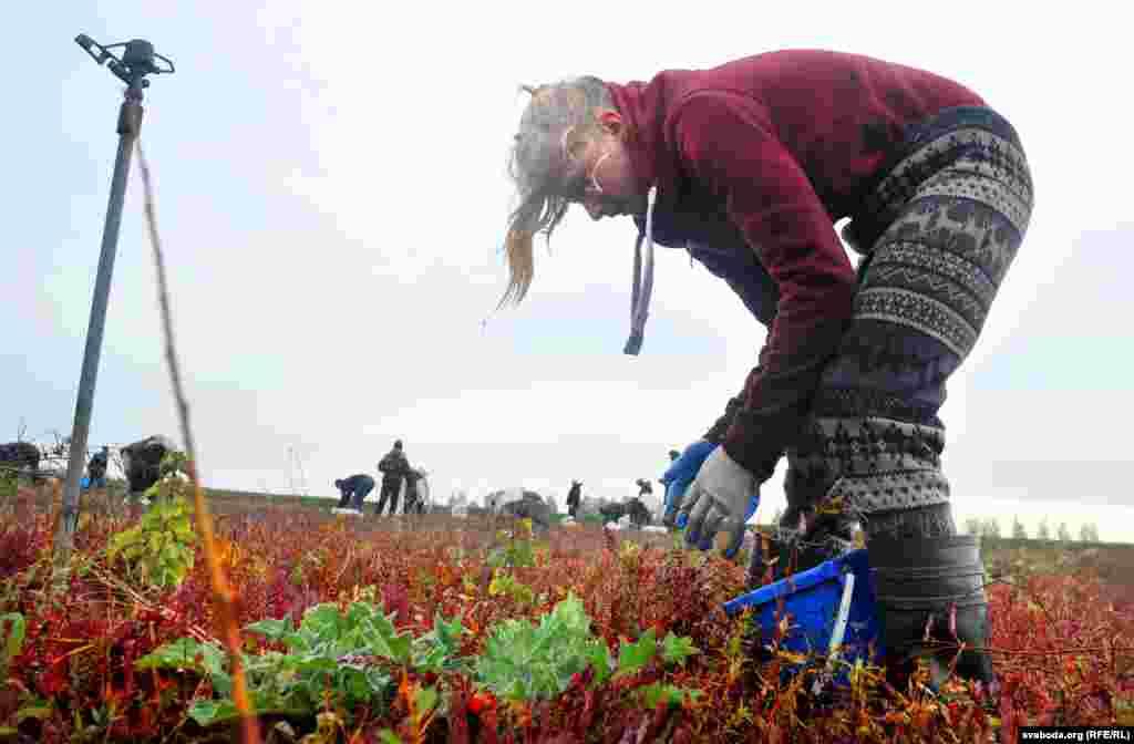 Работа тяжелая, для сбора ягоды набирают рабочих в Пинске и соседних деревнях