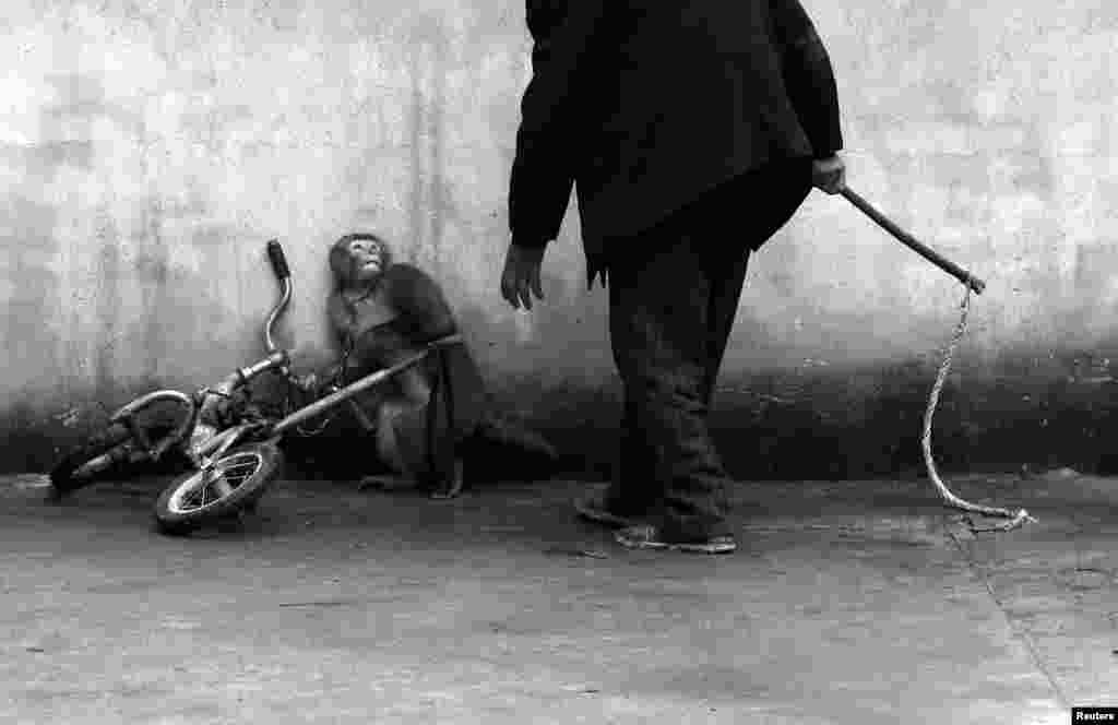 """В категории """"Природа. Одиночные снимки"""" победителем стал Юнчжи Чу из Китая - со снимком цирковой обезьянки, ожидающей удара дрессировщика."""