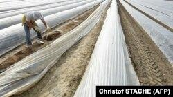 Сезонный рабочий на спаржевой ферме