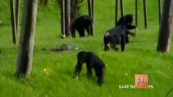 Защитники животных требуют наделить шимпанзе правами человека