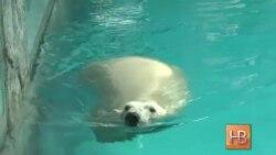 Белые медвежата из России дебютировали в зоопарке Сан-Паулу