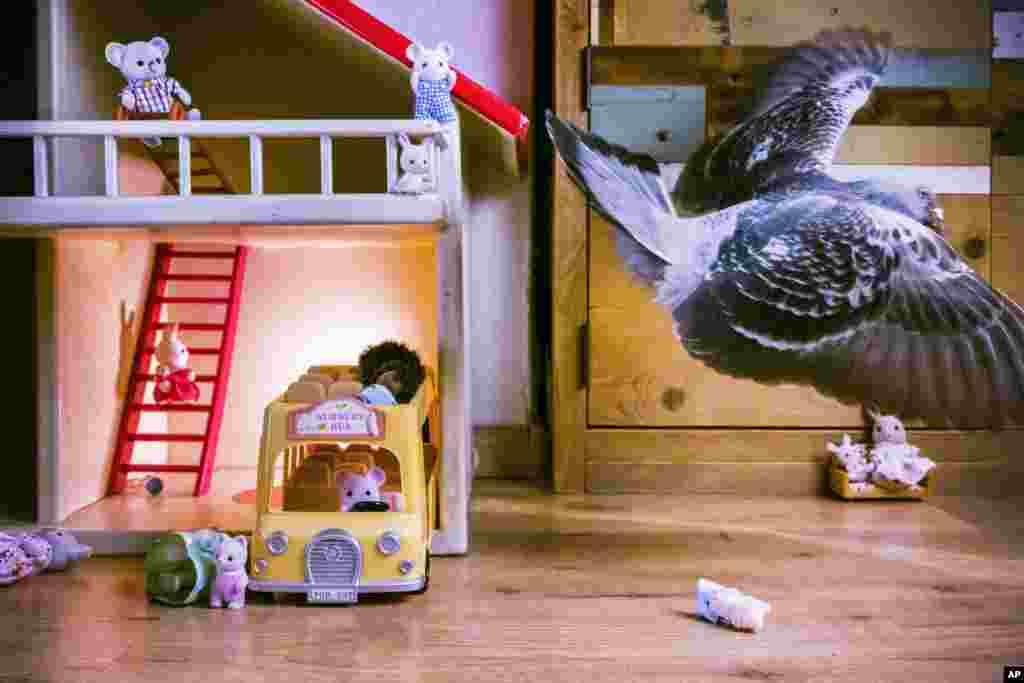 """Голубь Олли летает в гостиной комнате,Влардинген, Нидерланды (30 апреля 2020).Пара одичавших голубей подружилась с изолированной во время пандемии семьей фотографа. Голубей назвали Олли и Долли. Первое место в категории""""Природа, фоторепортаж"""", автор –Джаспер Дест"""