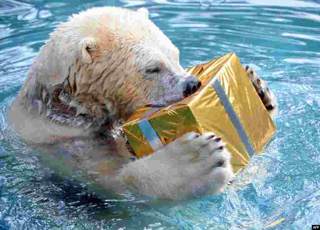 Французскому медведю сотрудники зоопарка подарили коробку с лакомствами