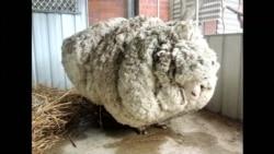 С заросшей австралийской овцы состригли 40 кг шерсти