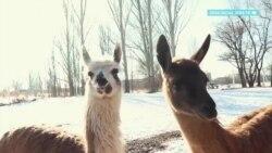 Зоопарк в Караколе просит помощи из-за коронавируса