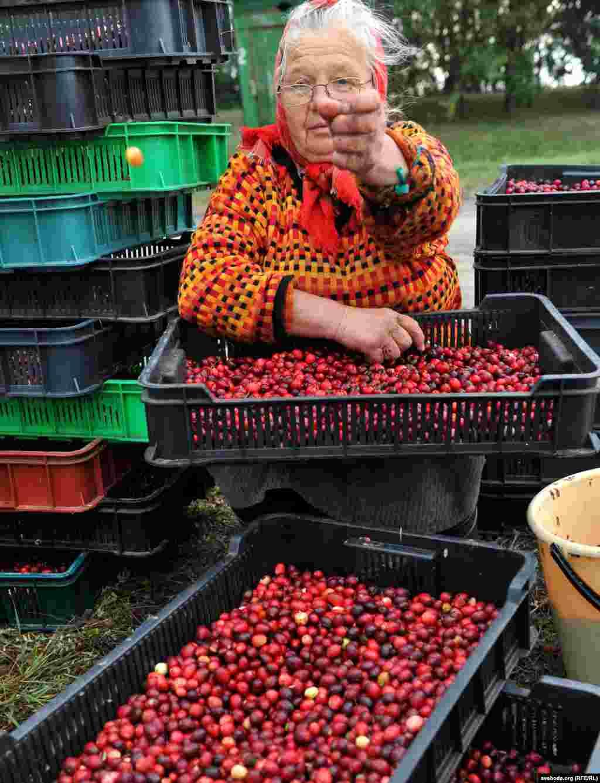 Собранные ягоды могут достаточно долго храниться в свежем виде в деревянных бочках, наполненных водой, но обычно их быстро везут на переработку