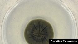 Cladosporium sphaerospermum – тот самый чернобыльский грибок – в чашке петри