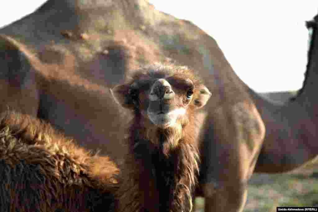 Насытившийся молоком верблюжонок.