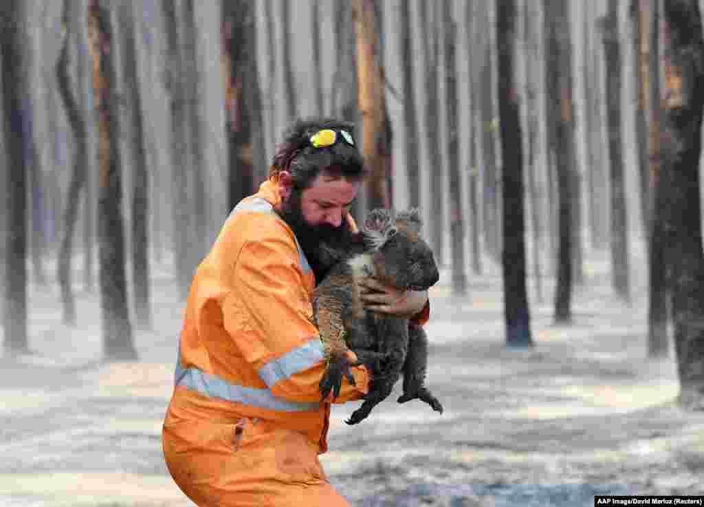 Мужчина спасает коалу из горящего леса в Австралии, 7 января 2020 года