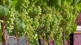 Виноградник на крыше: как это сделано в Нью-Йорке