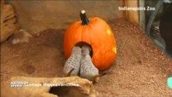 Сурикаты в Индианаполисе отпраздновали Хэллоуин досрочно