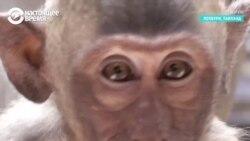 Британский музыкант сыграл на пианино концерт... для обезьян