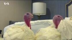 Двух индеек готовят к церемонии помилования в Белом доме: у них личный номер в отеле и спа