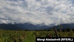 Виноградник в Грузии. Сентябрь 2019 года