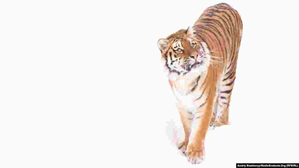 С каждым годом численность тигров сокращается и на сегодняшний день в дикой природе живет всего лишь 5 тысяч особей