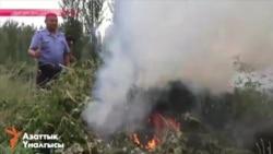 Жители Кыргызстана под присмотром милиционеров косят и жгут марихуану