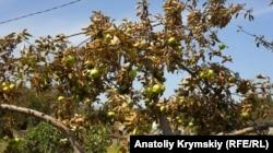 Листья на яблонях сгорели за два дня – жители села опасаются употреблять фрукты в пищу