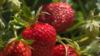 Как вырастить ягоду назло рису. Корреспондент побывал в клубничной столице Украины