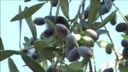 В Италии спилят миллион вековых оливковых деревьев