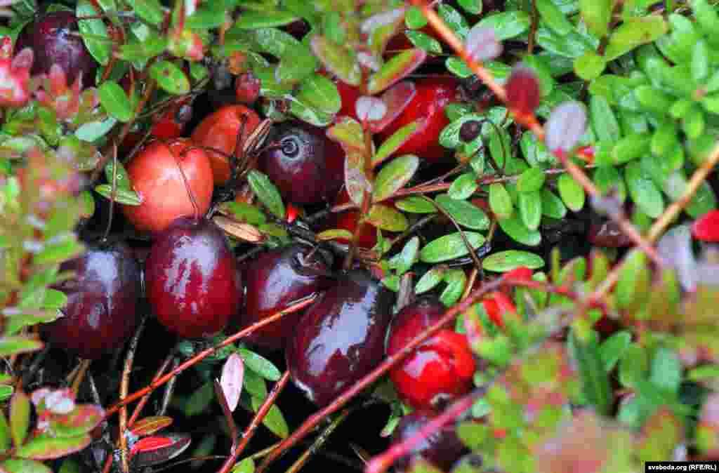 Крупнейшим мировым производителем этой ягоды являетсяСША, плантации есть также вКанаде, Польше и скандинавскихстранах, и немного - в Беларуси и России