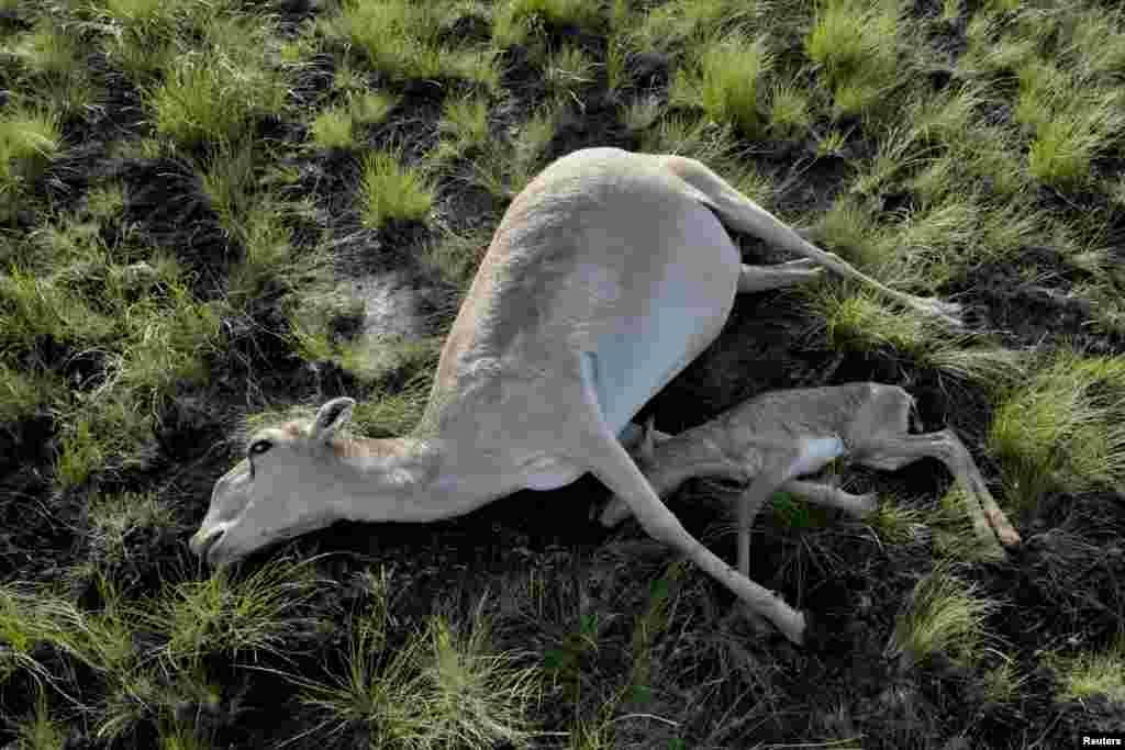 Погибшие самка сайгака с детёнышем. Костанайская область, 20 мая 2015 года