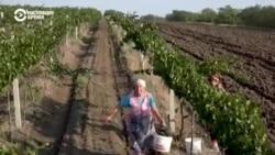 Пятое время года: тонкости виноделия, от сбора винограда до дегустации