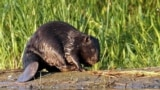 Estonia - Eurasian beaver (Castor fiber vistulanus) - next to the beaver dam, Tczew area, (northern) Poland. Undated