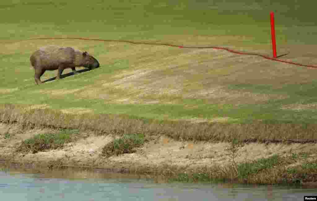 Проведению турнира по гольфу на Олимпиаде помешали очень необычные обстоятельства. На полях появились капибары - дикие бразильские грызуны. Помимо капибар, на поля также время от времени выползали змеи и крокодилы