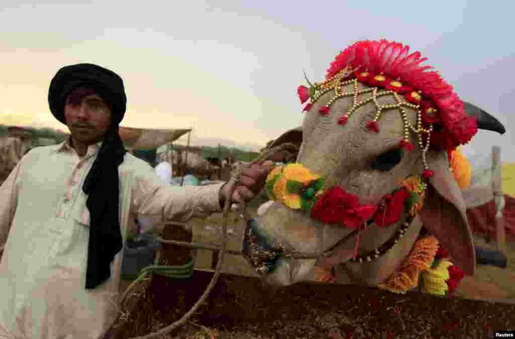 В Пакистане перед жертвоприношением животное обычно красочно украшают