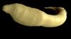 Круглый червь-нематода живет всего 20 дней. Как он поможет найти эликсир бессмертия