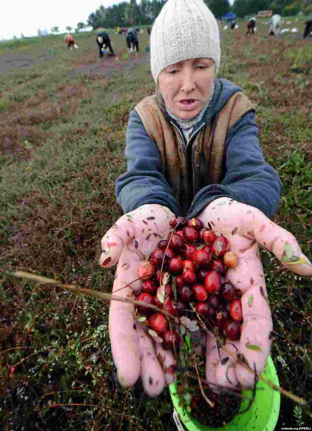 """На """"элитных"""" плантациях все происходит ровно наоборот: когда приходит время сбора урожая, с плантаций-чеков сливают воду, а ягоду собирают вручную"""